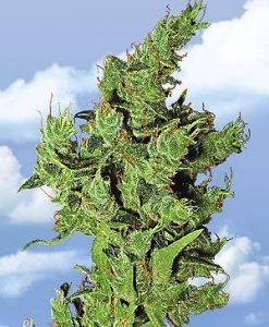 Amsterdam Mist Feminised Seeds