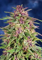 Frisian Dew Auto-flowering Feminised Seeds