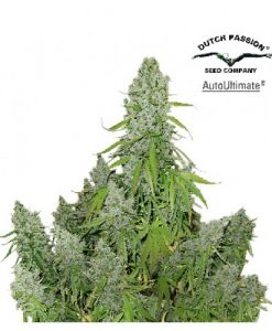Auto Ultimate Feminised Seeds