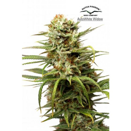 Dutch Passion Auto White Widow Feminised Seeds