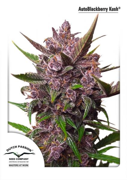 Auto Blackberry Kush Feminised Seeds