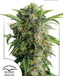 Auto Daiquiri Lime Feminised seeds