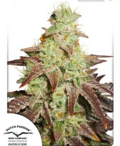 Auto Night Queen Feminised seeds