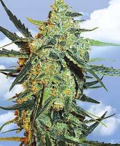 Blueberry Skunk Feminised Seeds