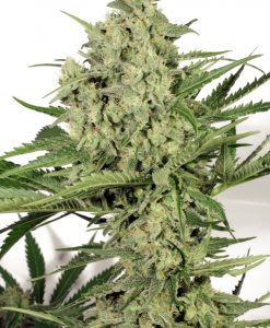 Dutch Cheese Feminised Seeds