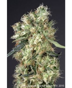 Dutch Haze Feminised Seeds