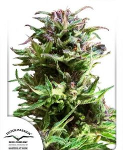 Forest Dream Feminised Seeds