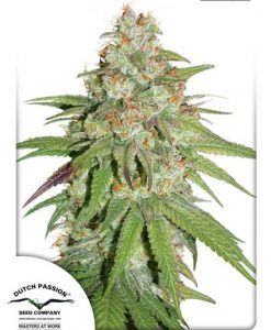 Glueberry O.G Feminised Seeds