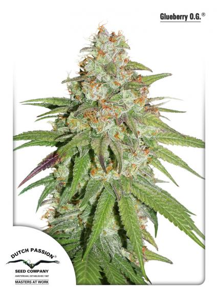 Glueberry O.G Feminised Seeds