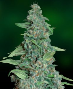Honey B Feminised Seeds