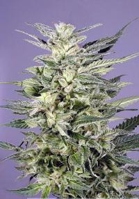 Jorge's Diamond Feminised Seeds