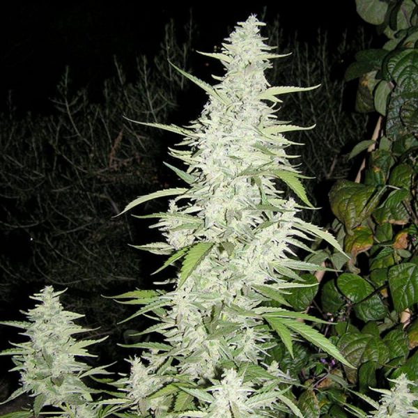 Maroc Seeds