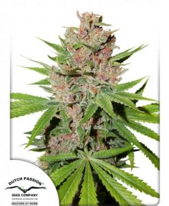 Passion Fruit Feminised Seeds