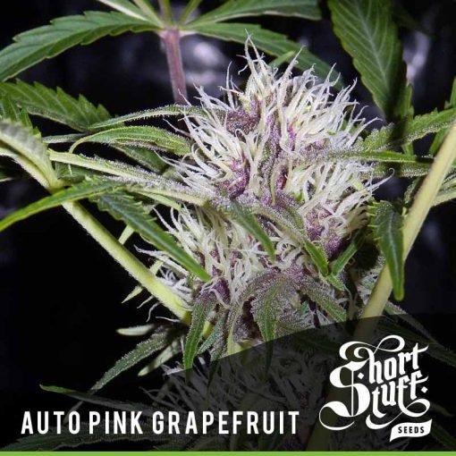Auto Pink Grapefruit feminised