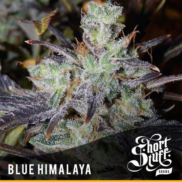 Blue Himalaya feminised