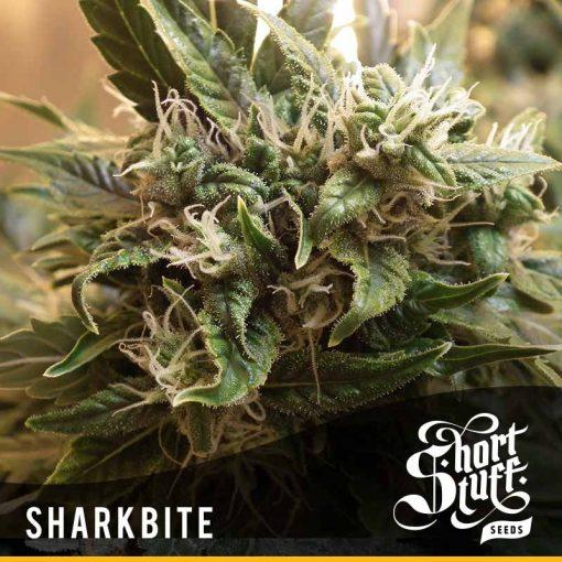 Sharkbite regular