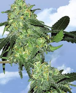 Skunk Classic Feminised Seeds