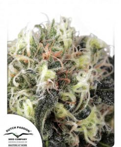 Snow Bud Feminised Seeds