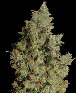 Tangerine Dream Feminised Seeds