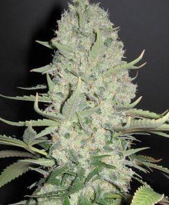 White Widow x Big Bud Seeds