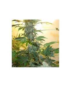 AK48 Feminised Seeds