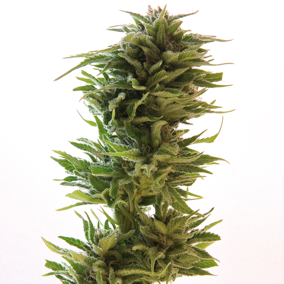 Amnesia Lemon Feminised Seeds
