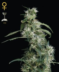 Arjan's Ultra Haze #2 Feminised Seeds