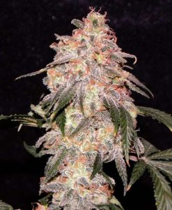 Aurora Indica Feminised Seeds