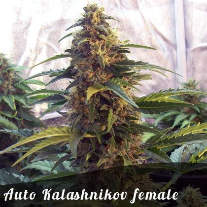 Auto Kalashnikov female seeds