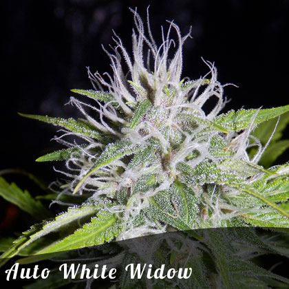 Buy Auto White Widow Female Seeds By Irish Seeds From Cannabisseeds