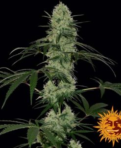 Tangerine dream auto feminised seeds