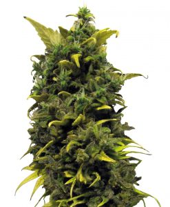 Blue Cheese Feminised Seeds
