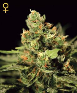 Big Bang Auto-flowering Feminised Seeds