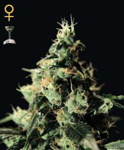 Chem Dog Feminised Seeds