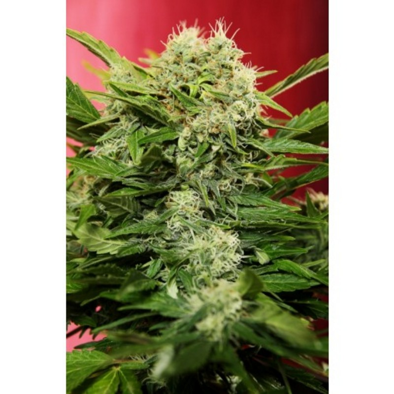 Chronic Ryder Autoflowering Feminised Seeds
