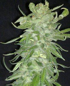Cristal Paradise Feminised Seeds