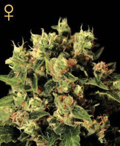 Ladyburn 1974 Feminised Seeds