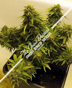 Lowryder Mix Autoflowering Feminised Seeds