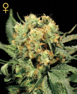 The Church Feminised Seeds