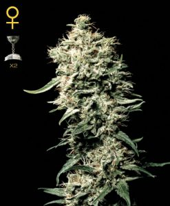 White Rhino Regular Seeds