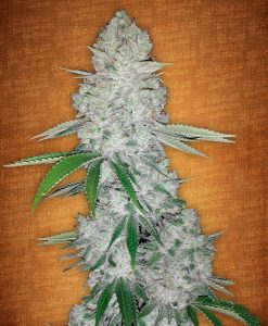Gorilla Glue auto feminised seeds