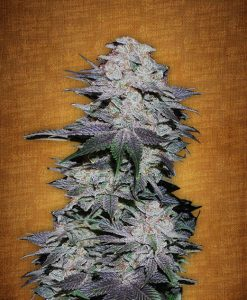 Blackberry feminised seeds