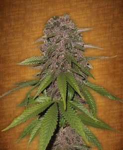 C4-matic feminised seeds