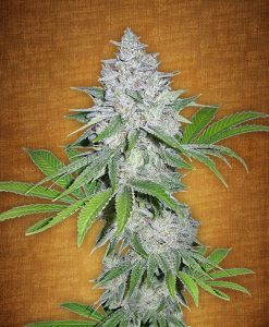 California Snow feminised seeds