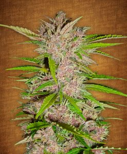 Fastberry feminised seeds
