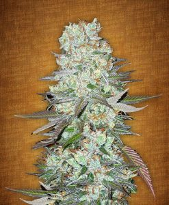 G14 feminised seeds