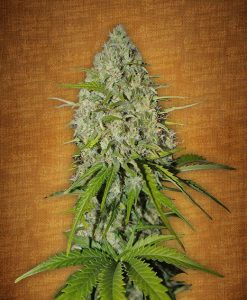 Grapefruit-matic feminised seeds