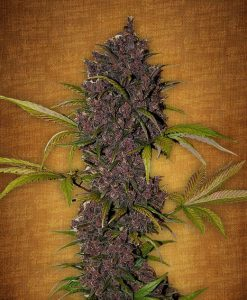 LSD 25 feminised seeds