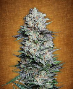 Mexican Airlines feminised seeds