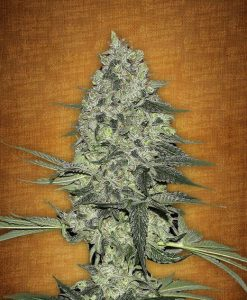 Rhino Ryder feminised seeds